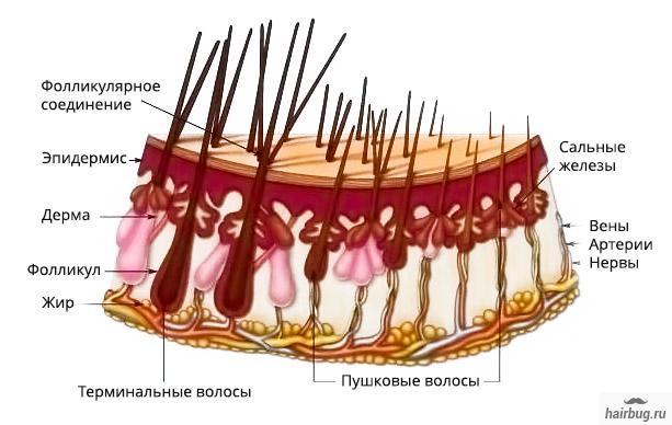 Структура и типа волос на теле человека
