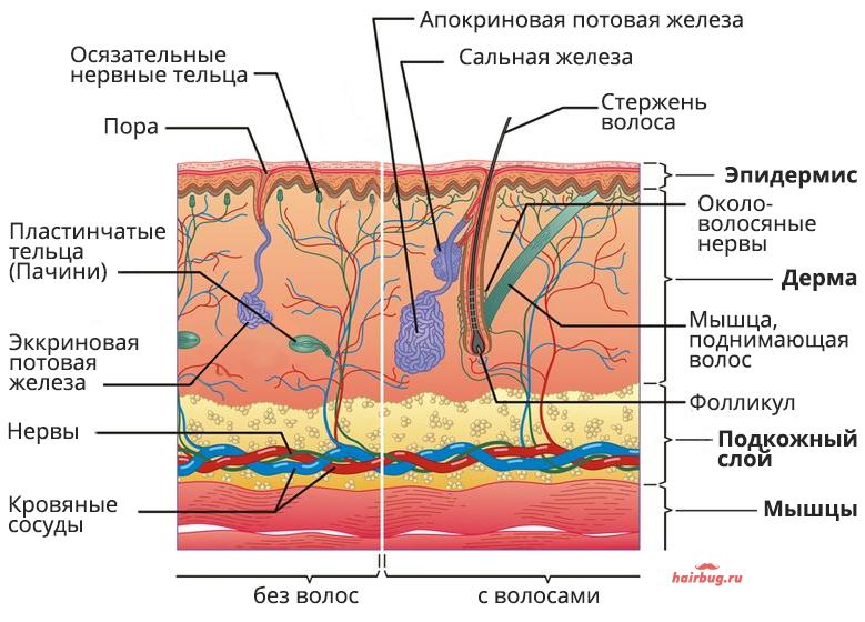 Строение волоса и прилегающих тканей
