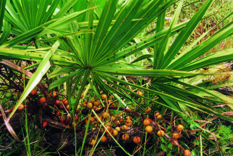 Saw Palmetto (Serenoa repens).