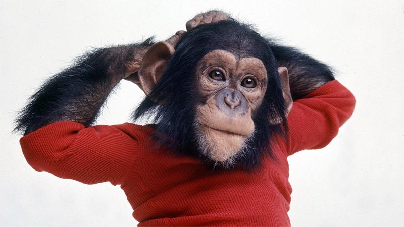 У нас и шимпанзе растут почти одинаковые волосы