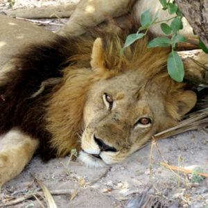 Львица с гирсутизмом